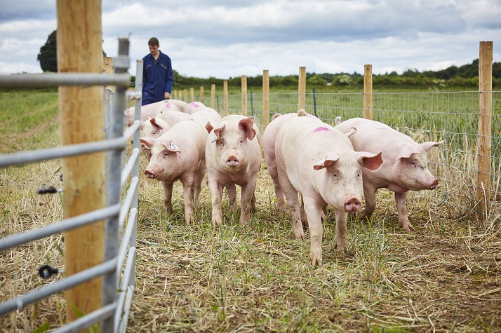 Groups of pigs outside in a field