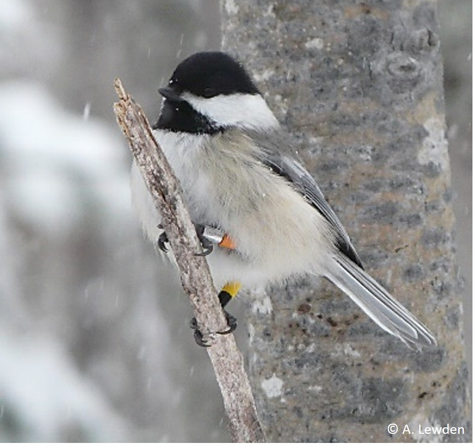 Black-capped chickadees (Poecile atricapillus L.)