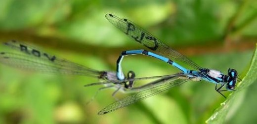 Age doesn't dull damselflies' love lives