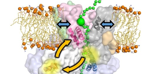 Bristol and Leeds collaboration reveals a new mechanism for protein secretion