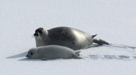 Icebreaker ships separate seal pups from mothers