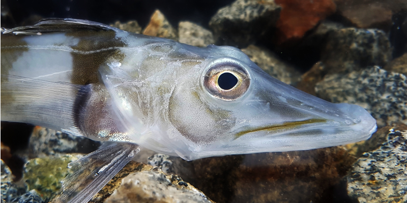 Antarctic Icefish Characteristics and Facts  |Antarctic Icefish