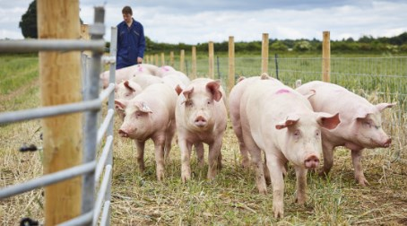 Multi-million pound investment in pig research