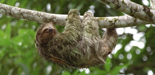 Sloths' ancestors may have crossed the Atlantic, says study