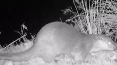 Wild Otter caught on camera in the Peak District