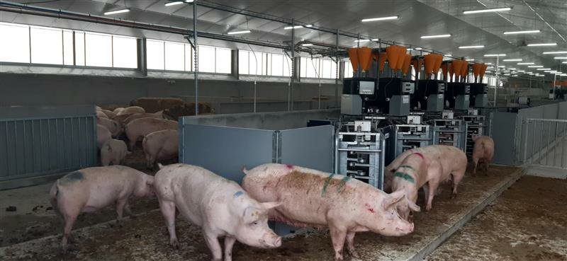 Pigs arrive at CIEL@Leeds National Pig Centre