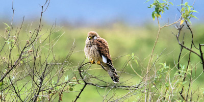 Lesser kestrel, photo credit: Allan Hopkins