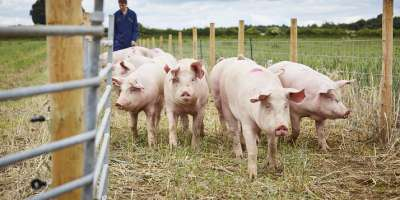Group of pigs outside on farm