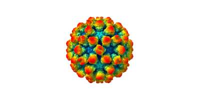 The murine norovirus