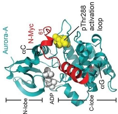 Crystal structure of Aurora-A (cyan) in complex with N-Myc residues 61–89 (red). (Courtesy of Prof. Richard Bayliss)